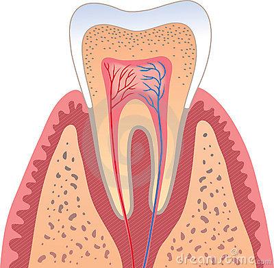 牙齿神经结构